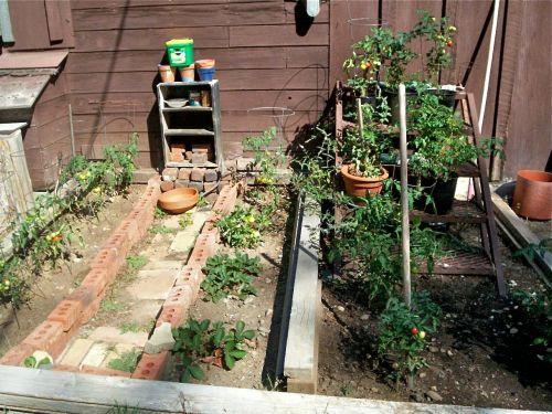 tomato-garden-fail